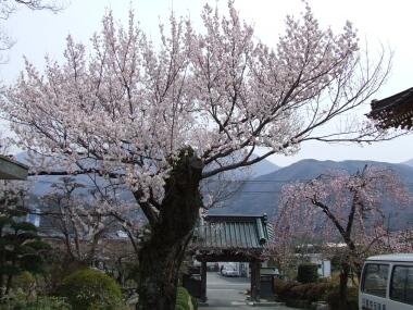 上沢寺の桜2.jpg