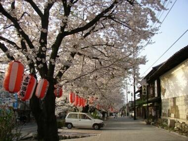城下町小幡の桜3.jpg