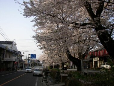 城下町小幡の桜2.jpg