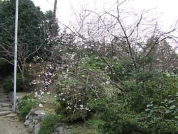 浄法寺鬼石町冬桜.jpg