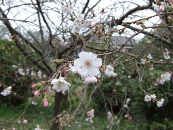 浄法寺鬼石町冬桜2.jpg