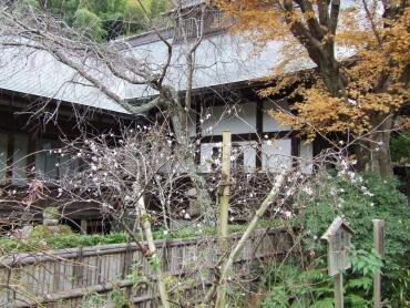 瑞泉寺冬桜.jpg