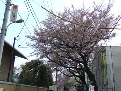成城の桜4.jpg