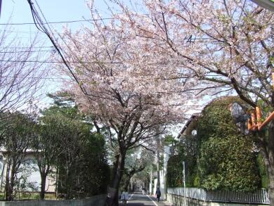 成城の桜1.jpg