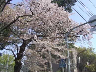 成城大学の桜.jpg