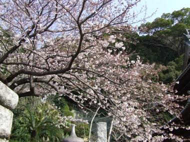 清見寺の桜2.jpg
