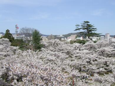 盛岡城の桜.jpg