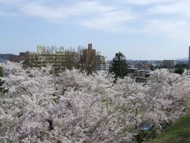 盛岡城の桜2.jpg
