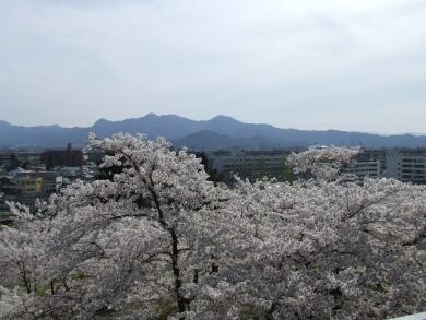 盛岡城の桜3.jpg