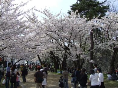 盛岡城の桜4.jpg