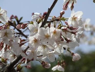 青山霊園の桜4.jpg