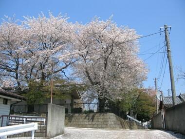 石戸蒲桜2.jpg