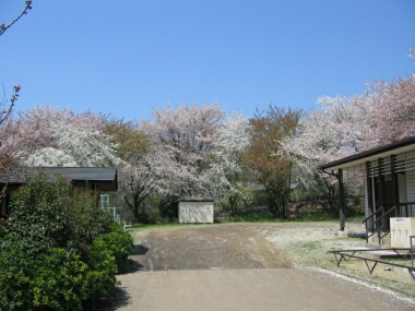 石戸蒲桜3.jpg