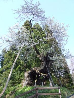 赤坂の種ェ桜2.jpg