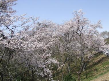織姫公園桜2.jpg