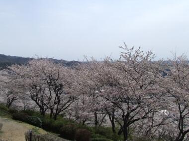 織姫公園桜3.jpg