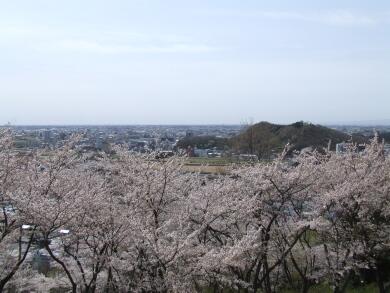 織姫公園桜4.jpg