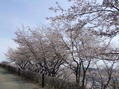 織姫公園桜1.jpg