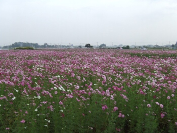 川島町コスモス.jpg