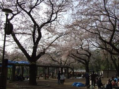 洗足池の桜1.jpg