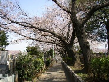 染井霊園の桜2.jpg