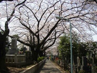 染井霊園の桜3.jpg