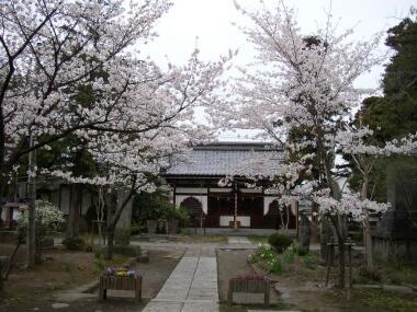 信濃国分寺の桜3.jpg