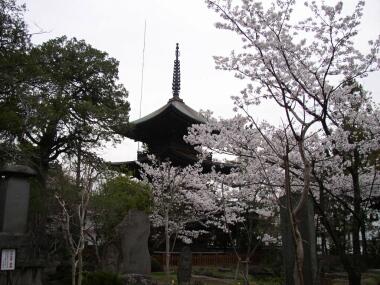 信濃国分寺の桜1(20040418).jpg