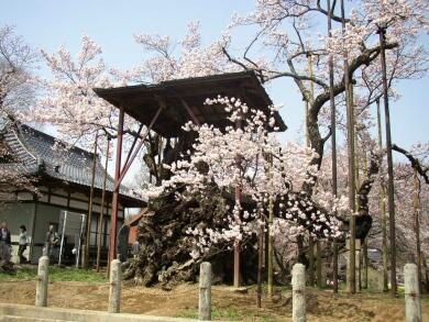 神代桜2.jpg