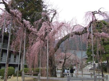 身延山久遠寺桜2.jpg