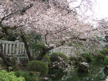 身延山久遠寺桜3.jpg