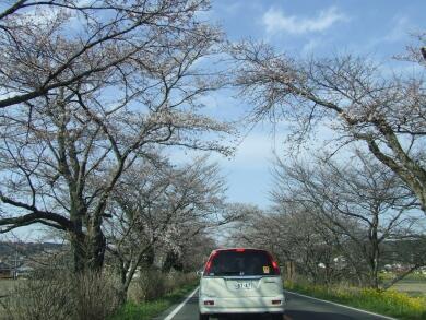 早乙女の桜並木3.jpg