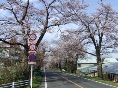 早乙女の桜並木1.jpg