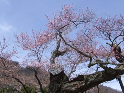 相俣のさかさ桜2.jpg