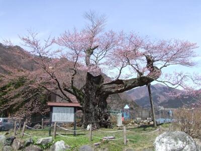 相俣のさかさ桜1.jpg