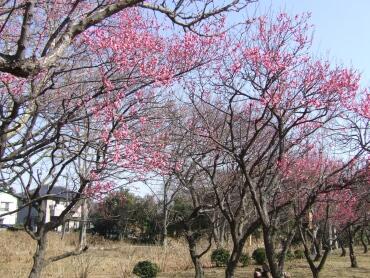 大宮第二公園の梅3.jpg