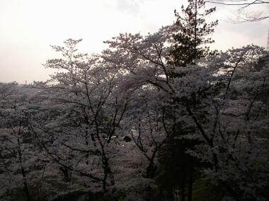 大善寺桜4.jpg
