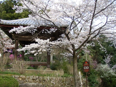 大善寺桜5.jpg