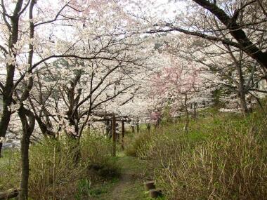 大善寺桜1.jpg