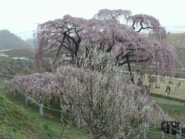 滝桜2.jpg