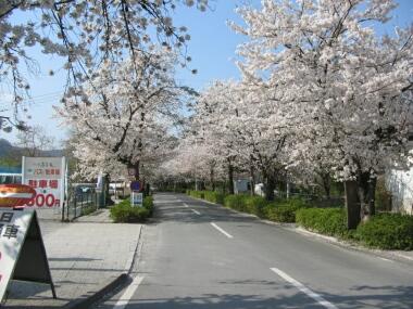 長瀞の桜並木.jpg