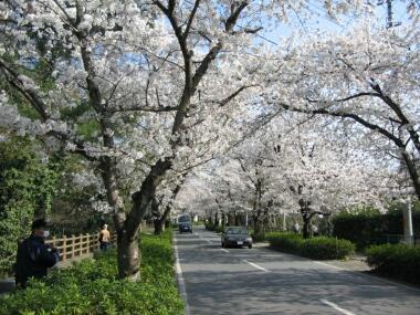 長瀞の桜並木2.jpg