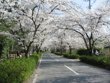 長瀞の桜並木1.jpg