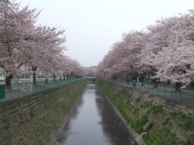 東坂戸団地の桜2.jpg