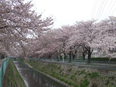 東坂戸団地の桜3.jpg