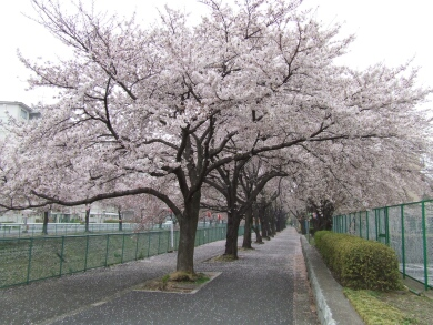 東坂戸団地の桜1.jpg