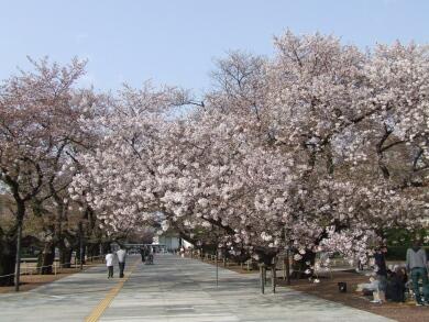 東工大の桜1.jpg
