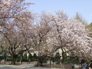 東工大の桜2.jpg