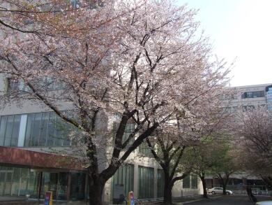 東工大の桜5.jpg
