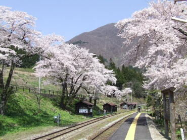湯野上温泉駅の桜2.jpg